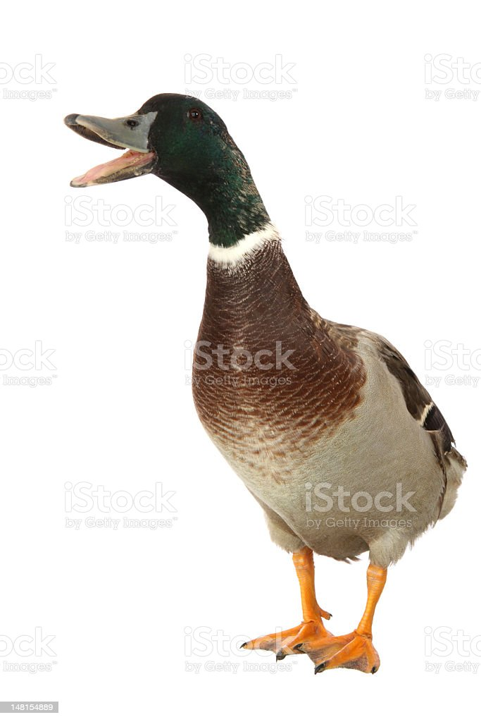 Mallard Drake Portrait stock photo