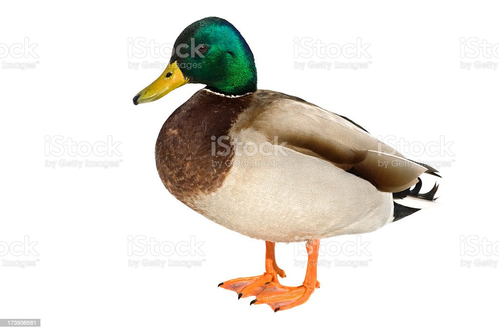Mallard duck against white background stock photo