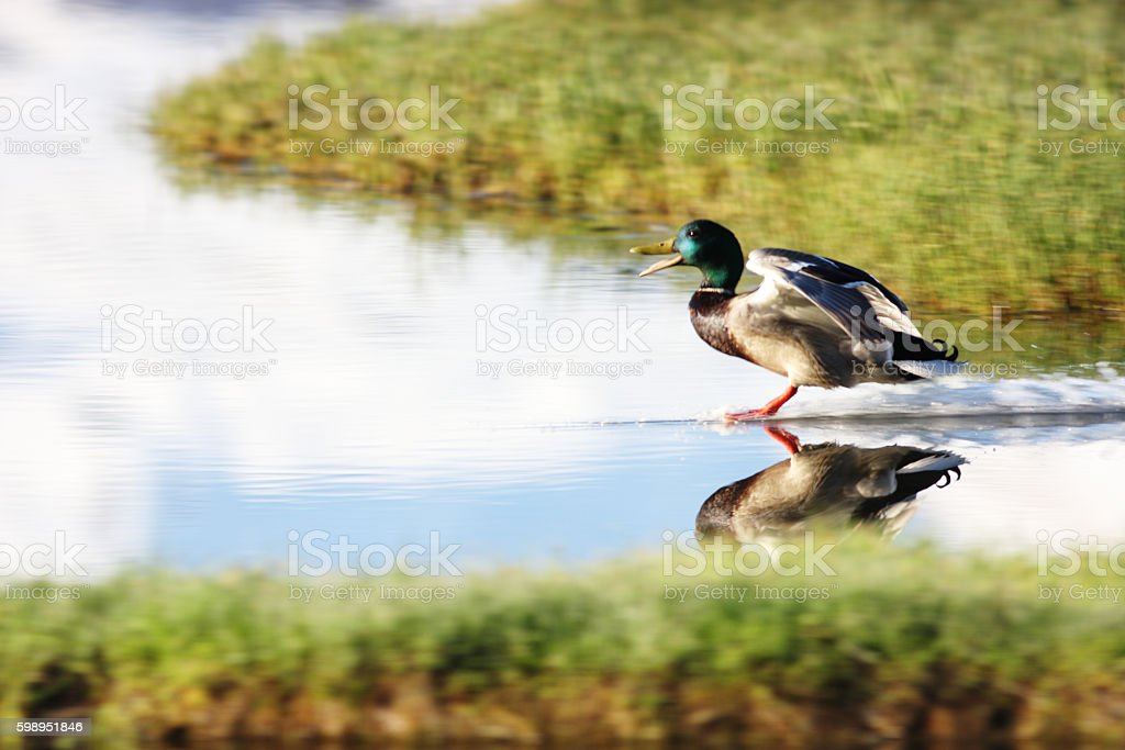 Mallard Duck Anas platyrhynchos Water Skiing stock photo