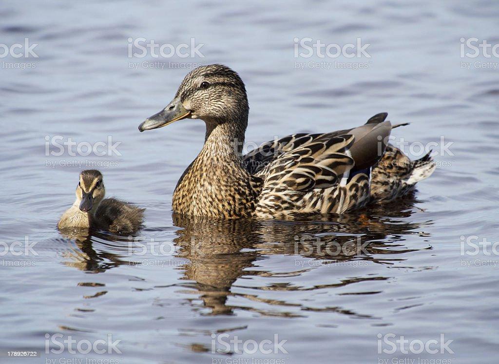 mallard duck and baby royalty-free stock photo