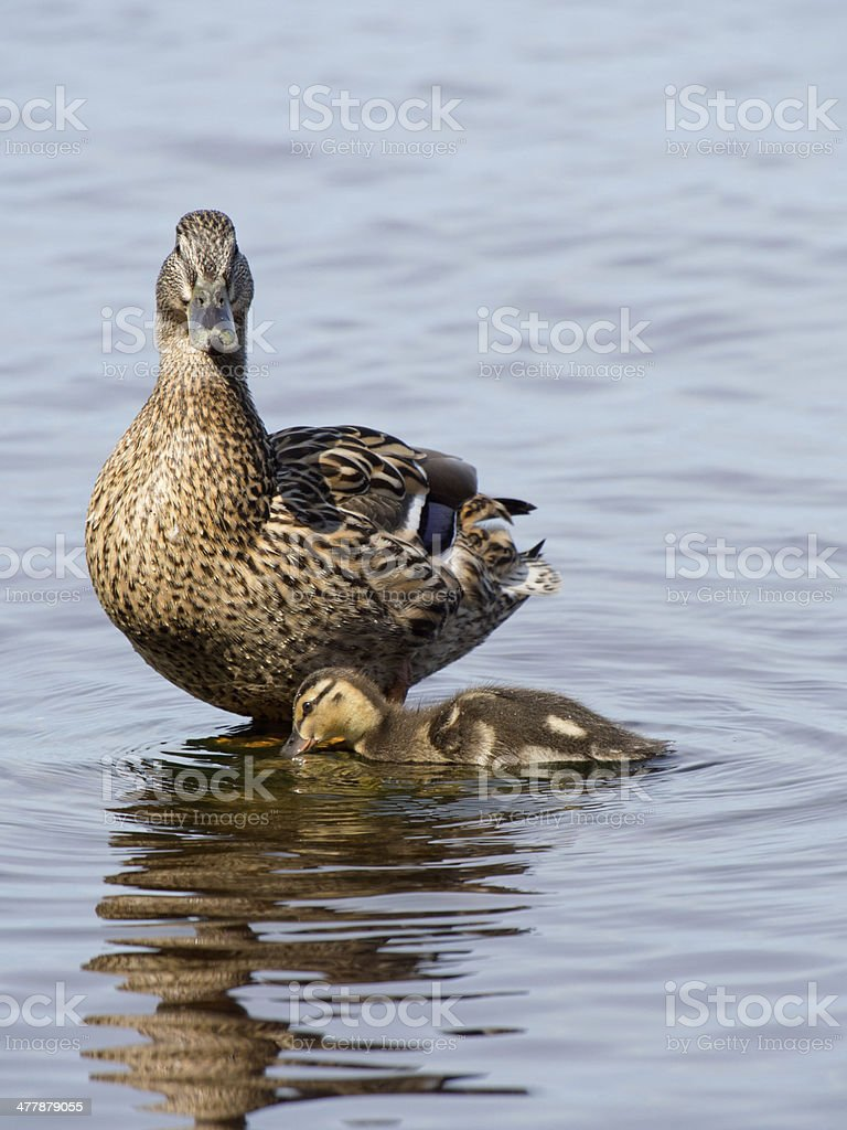 mallard duck and baby royalty-free stock photo