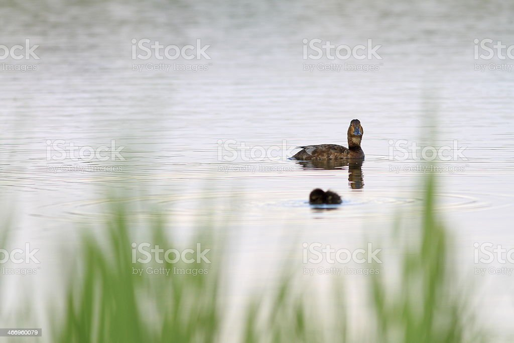 mallard duck and her chick royalty-free stock photo