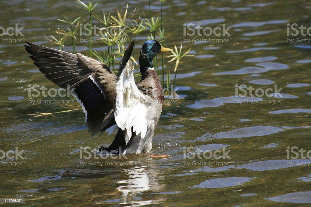 Mallard Duck, Central Park, Manhattan, NY. royalty-free stock photo