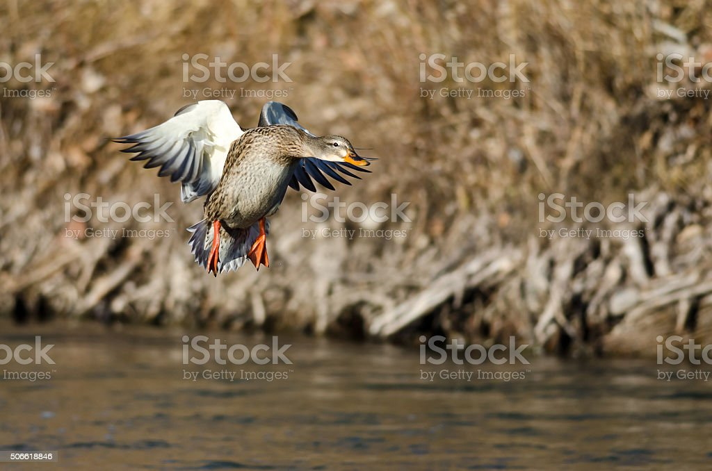 Mallard Duck Coming in for a Landing on the River stock photo