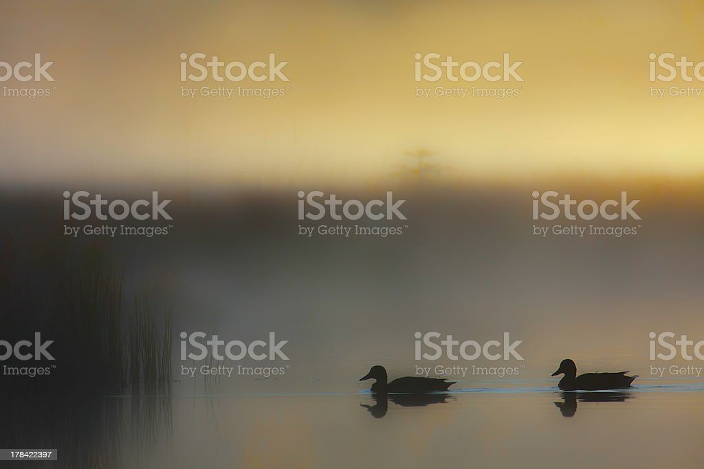 Mallard duck couple in day sunset misty atmosphere royalty-free stock photo