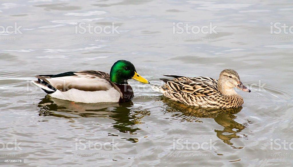 Mallard Duck couple stock photo