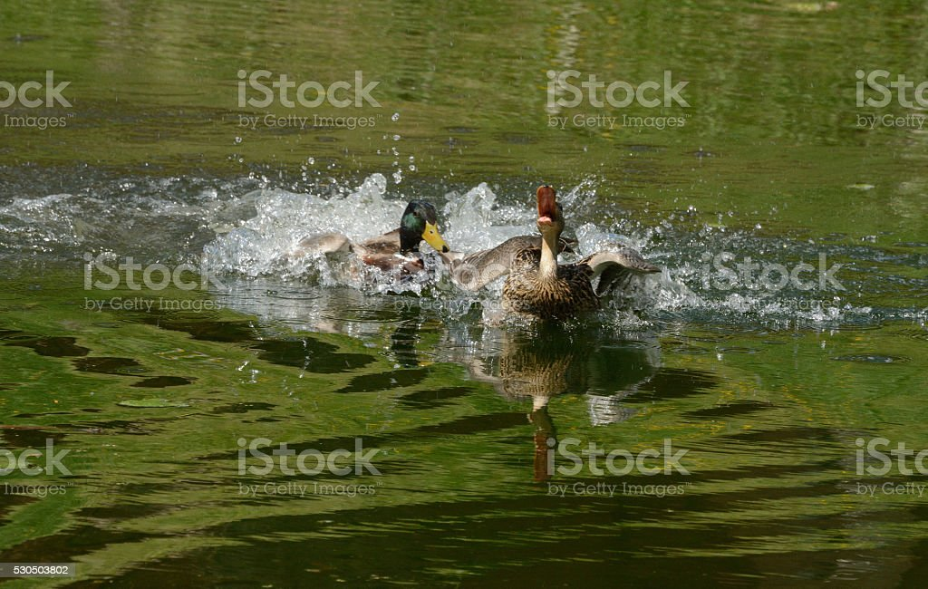 Mallard Duck drake pursuing female stock photo