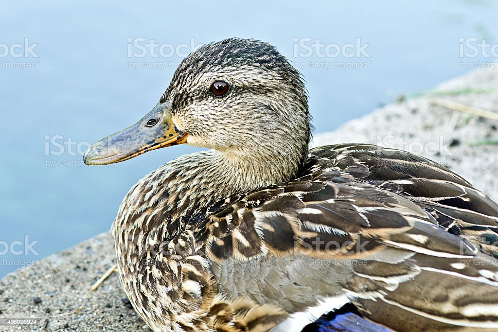 Mallard duck female close-up stock photo