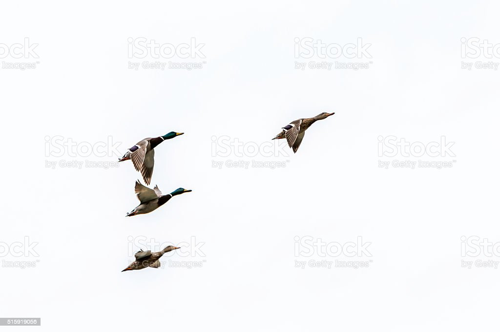 Mallard Duck flying on a white background stock photo