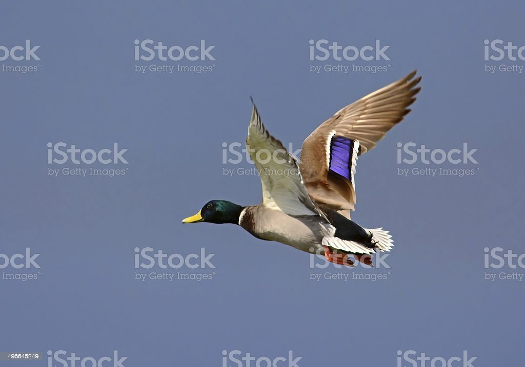 Mallard Duck, Flying stock photo