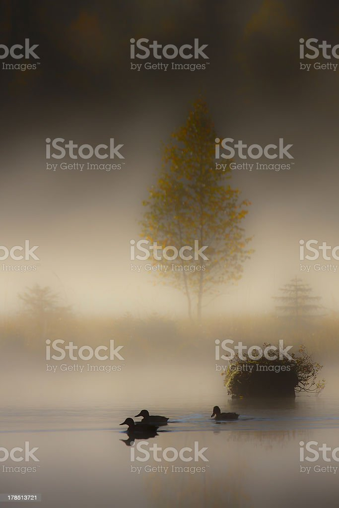 Mallard duck group in day sunset misty atmosphere royalty-free stock photo