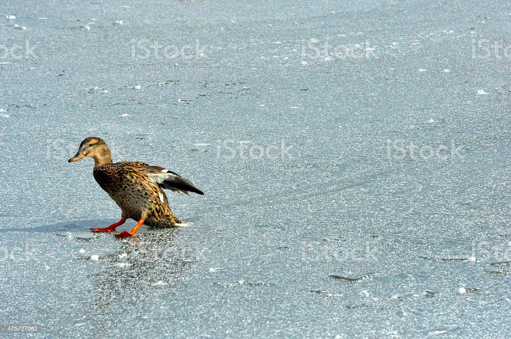 Mallard Duck Hen Landing and Sliding on Ice stock photo