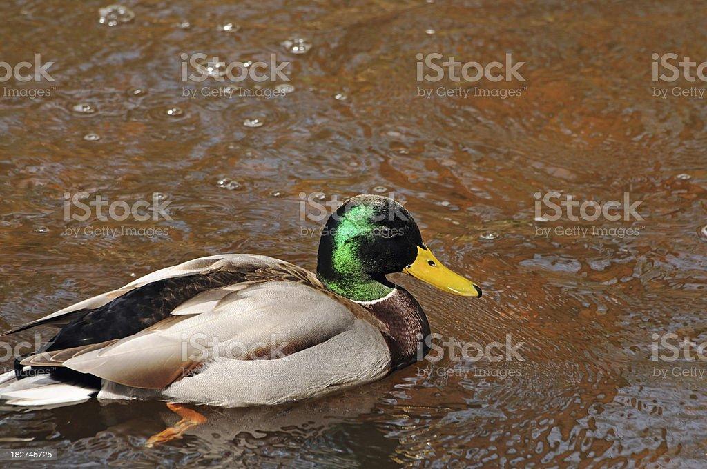 Mallard duck in creek royalty-free stock photo