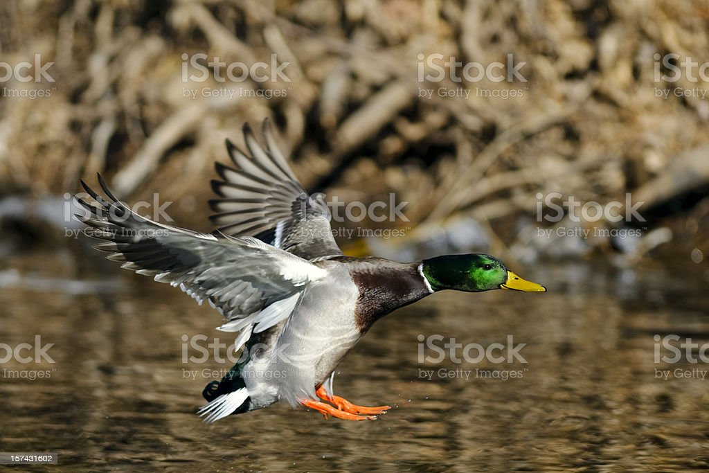 Mallard (Anas platyrhynchos) Duck Landing on Pond or River stock photo
