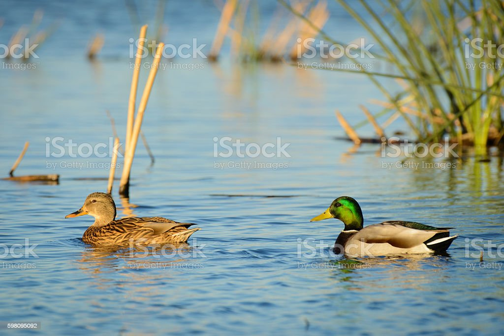 Mallard Duck Male and Female stock photo