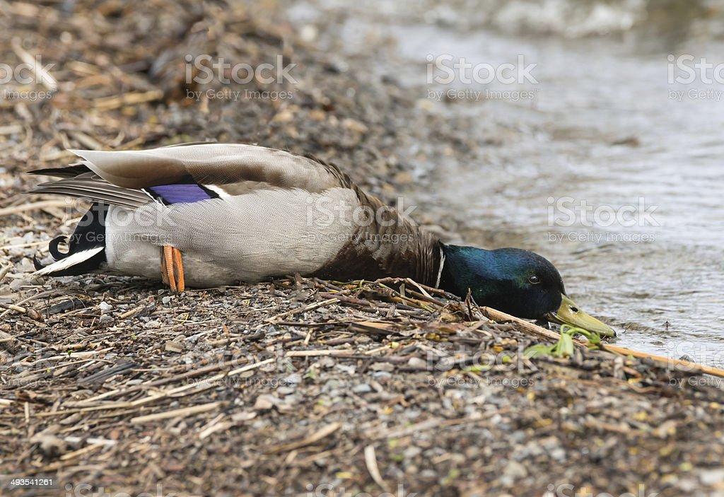 Mallard Duck Male royalty-free stock photo