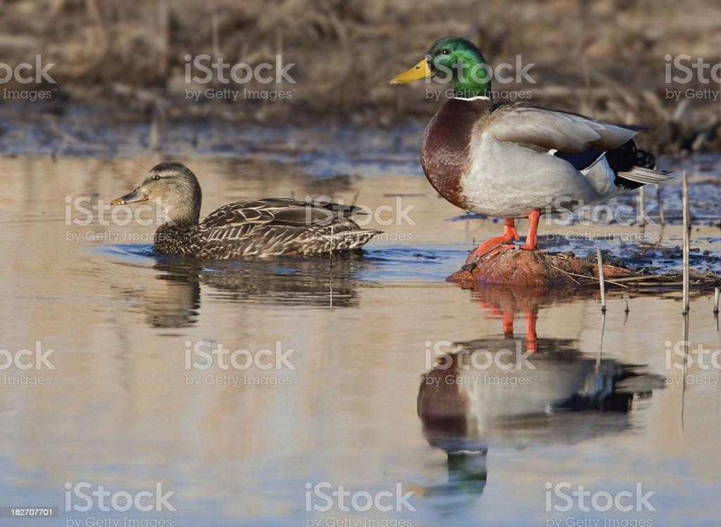 Mallard Duck Pair stock photo