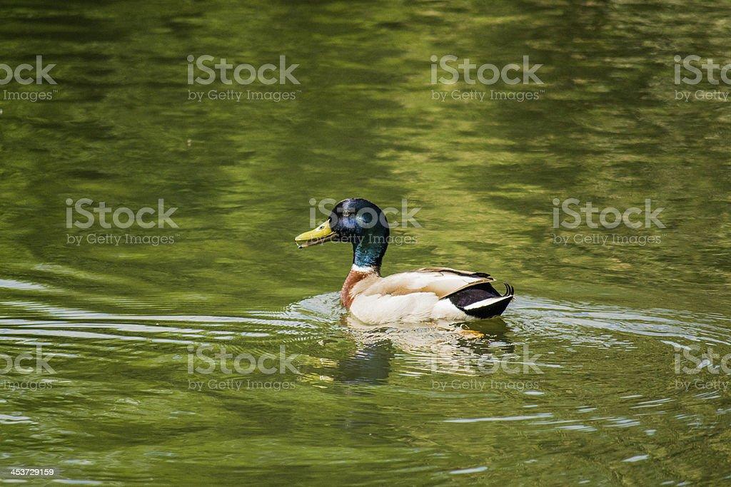Mallard Duck royalty-free stock photo