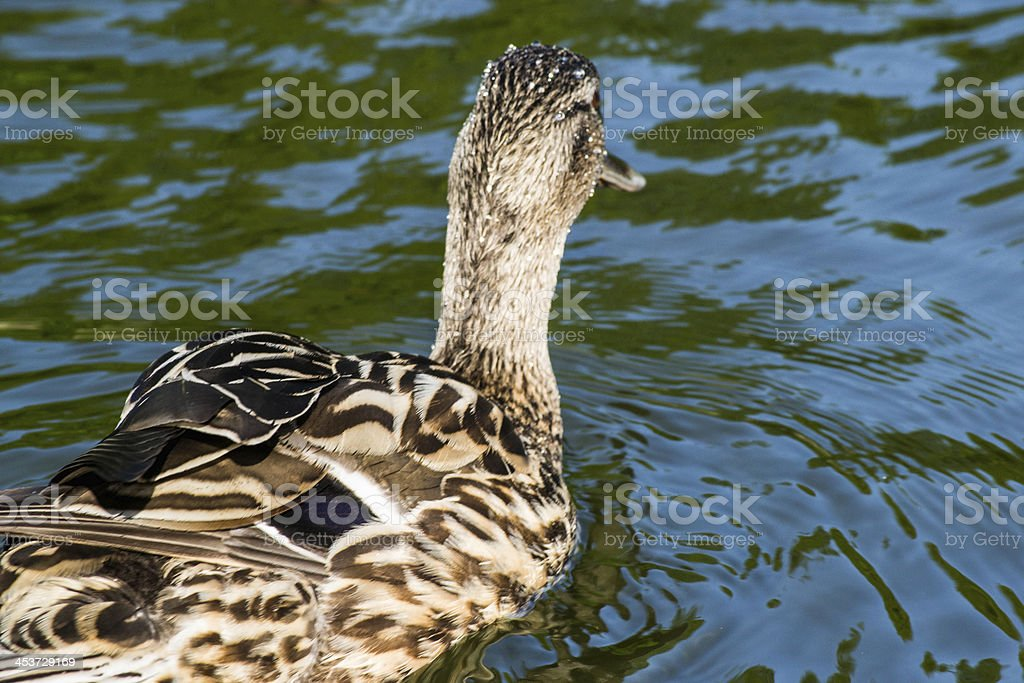 Mallard Duck royalty-free stock photo