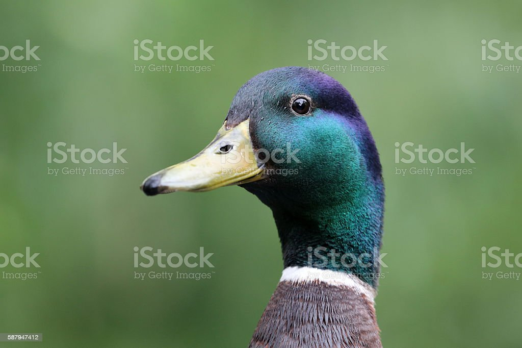 Mallard Duck stock photo