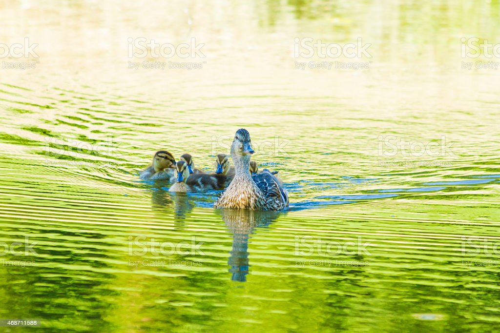 Mallard Duck Swims With Her Ducklings In A Green Pond stock photo