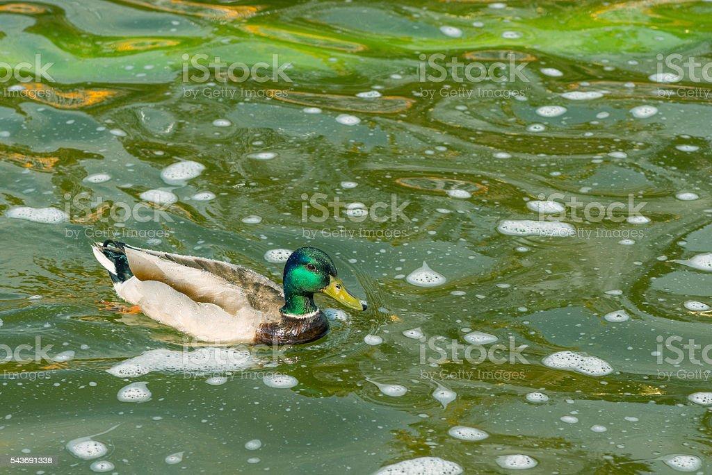 Mallard duckin the water. stock photo