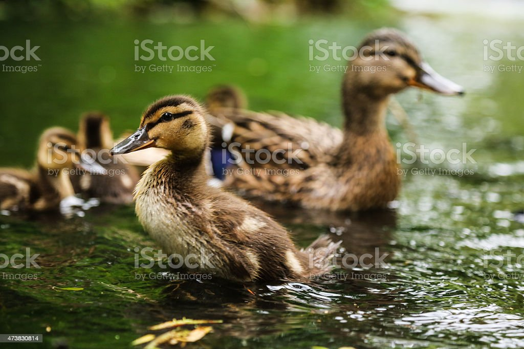Mallard duckling stock photo