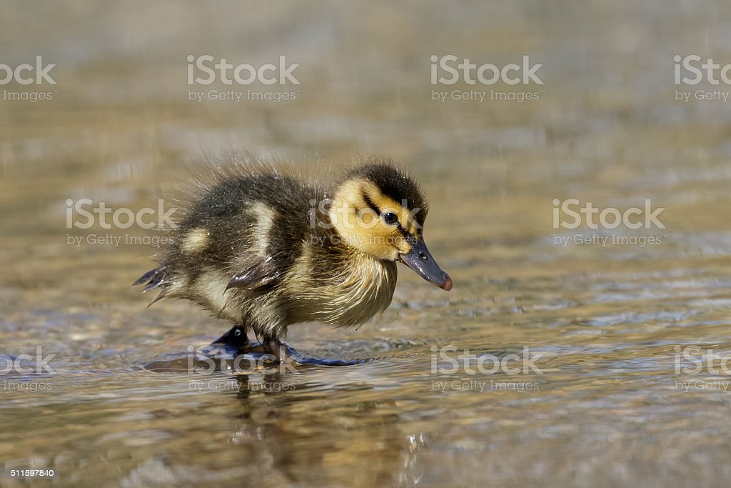 Mallard Duckling (Anas platyrhynchos) stock photo