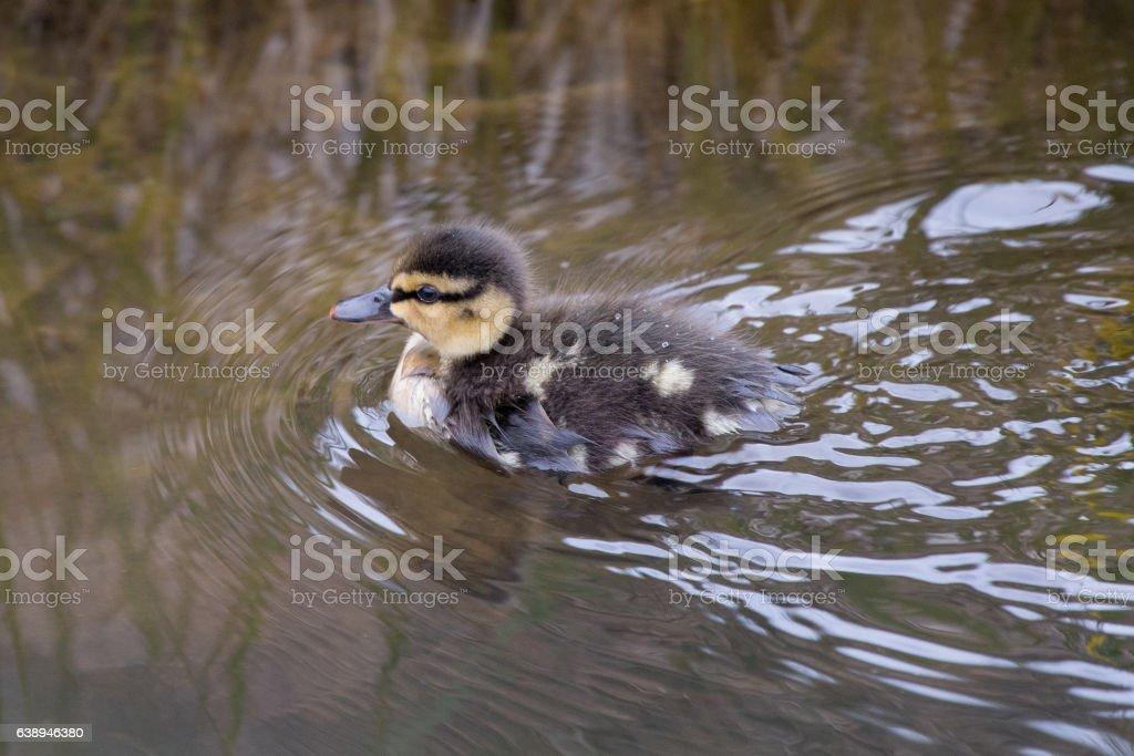Mallard  duckling stock photo