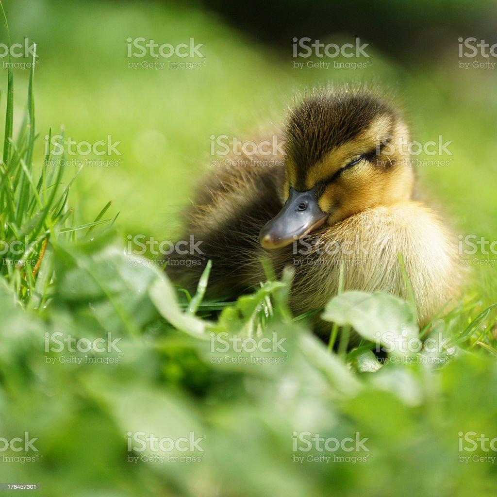 Mallard duckling sleeping on a meadow stock photo