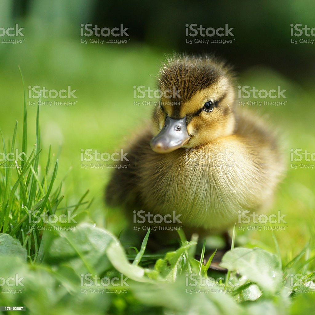 Mallard duckling standing on a meadow stock photo