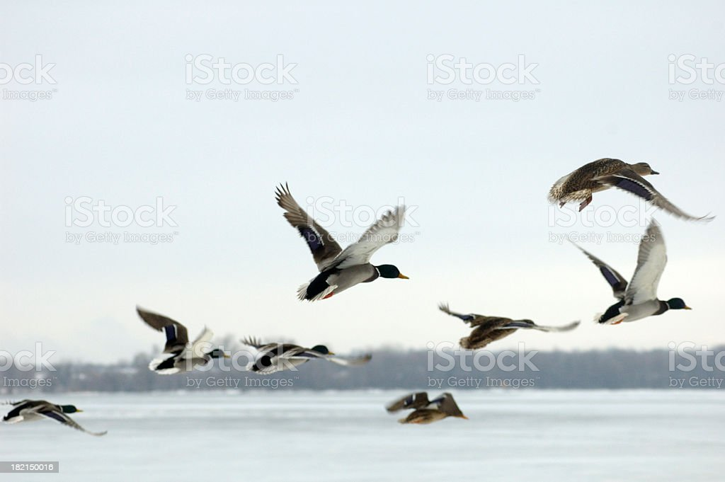Mallard ducks in flight over water stock photo