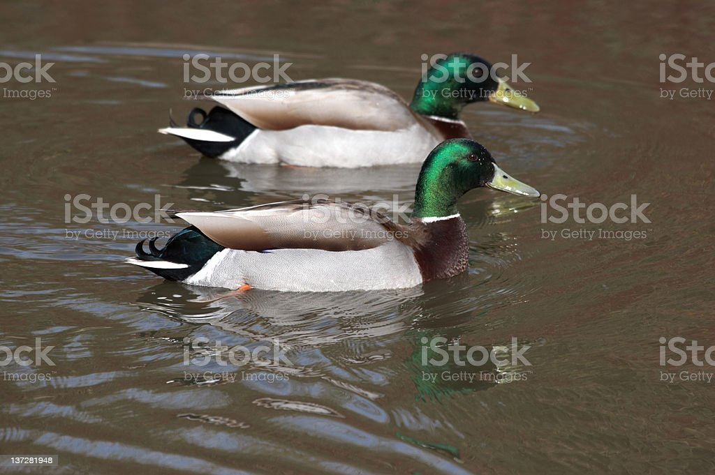 Mallard ducks royalty-free stock photo