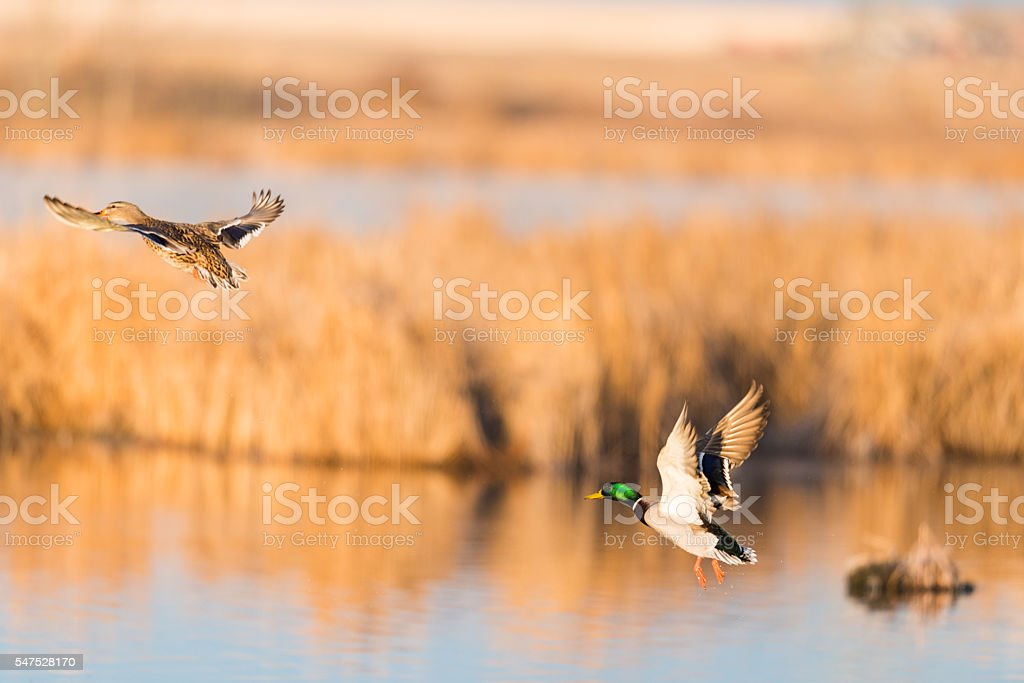 Mallard Ducks stock photo