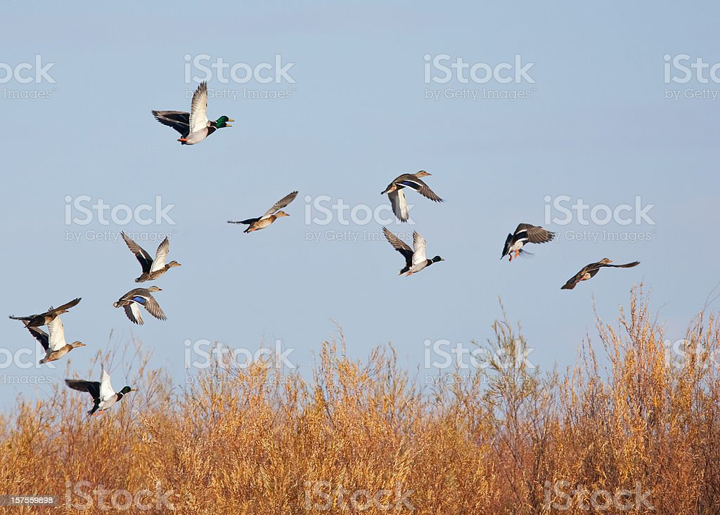 Mallard Ducks Take Flight royalty-free stock photo