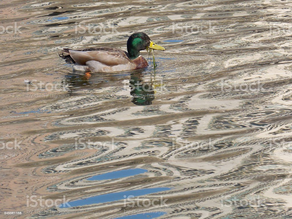 Mallard Ducks with Grass in Its Mouth stock photo