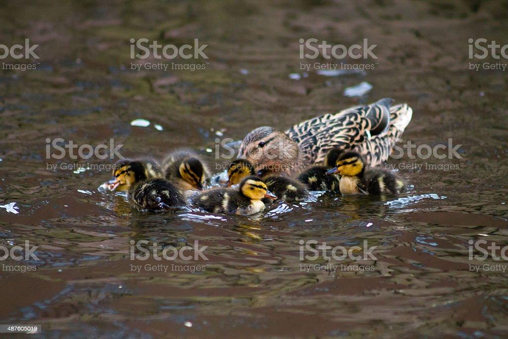 Mallard Hen and Ducklings royalty-free stock photo