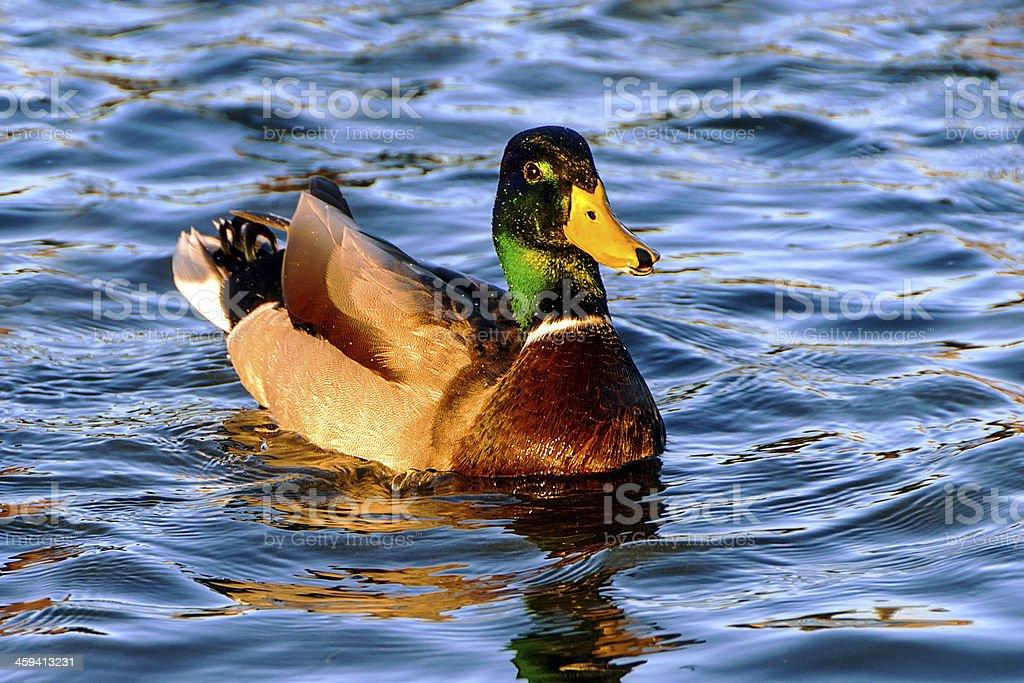 Mallard male stock photo