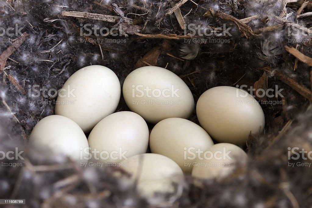 Mallard nest with eggs. royalty-free stock photo