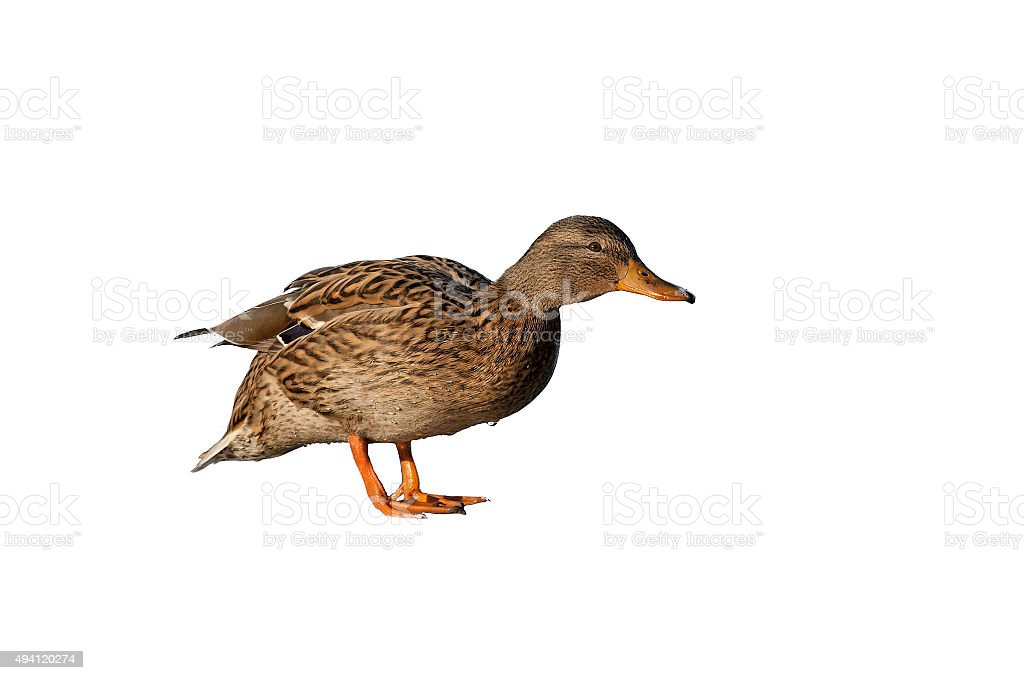 Mallard (Anas platyrhynchos) stock photo