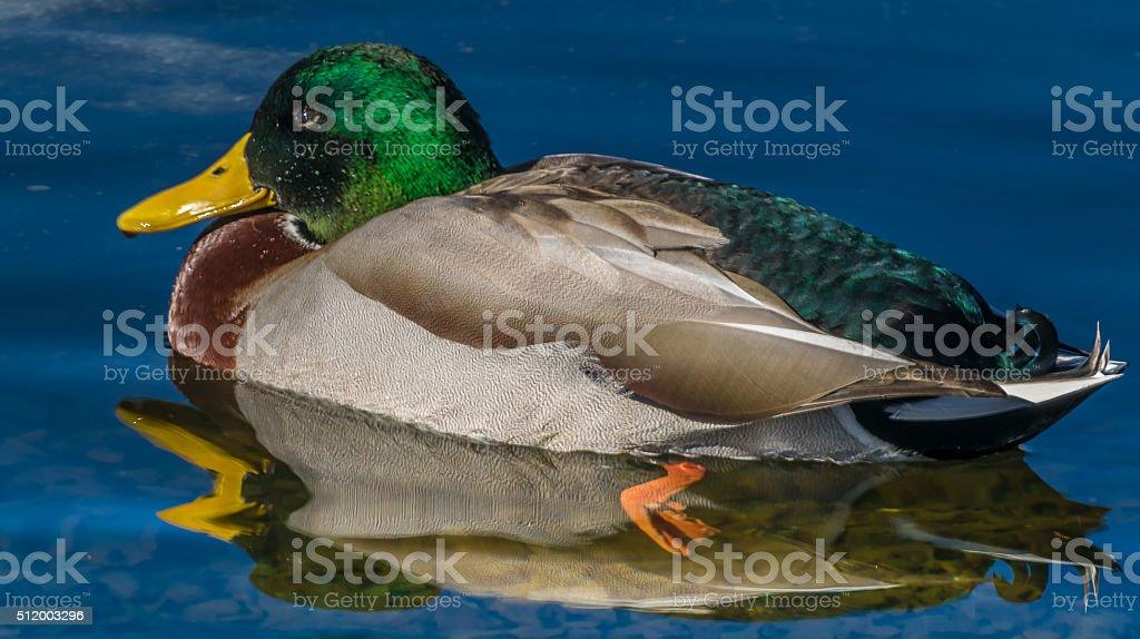 Mallard reflection stock photo