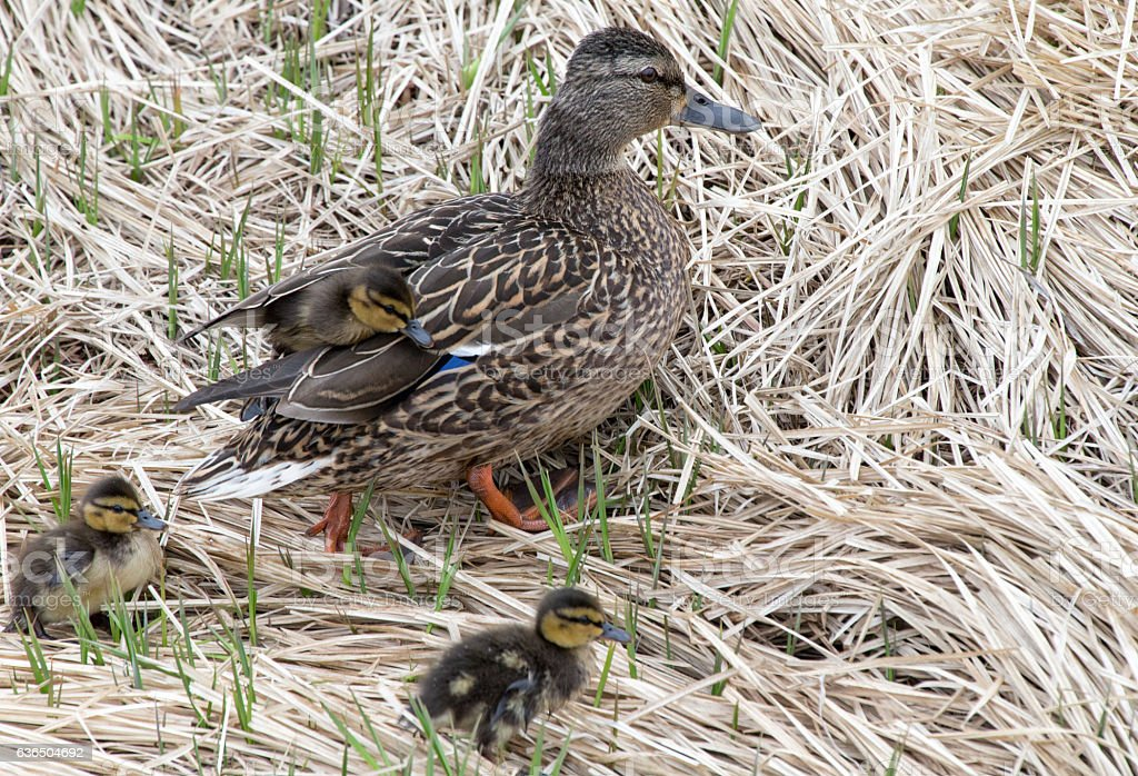 Mallards and  ducklings stock photo