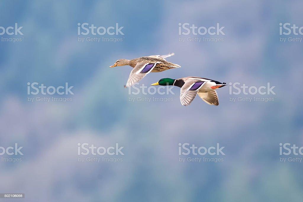Mallards in Flight near Harrison British Columbia stock photo