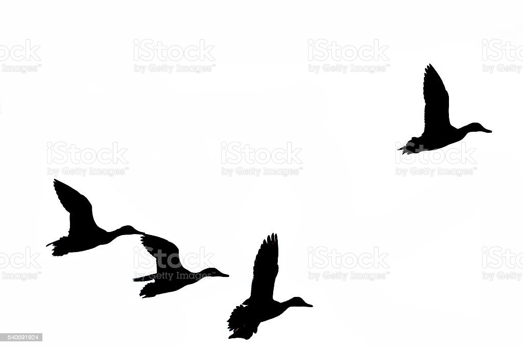 Mallards in silhouette stock photo