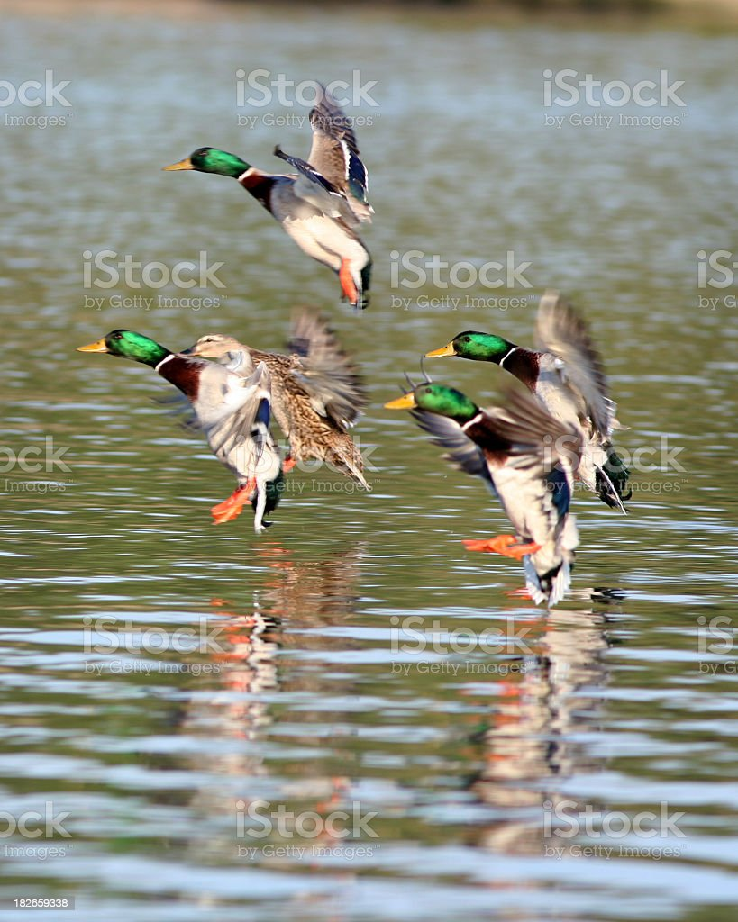 Mallards landing on rippling water stock photo