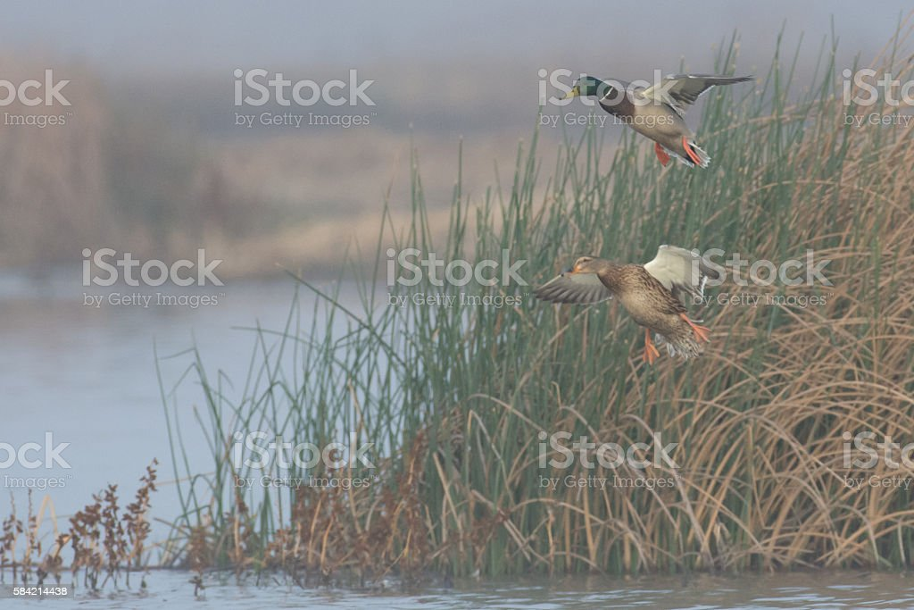 Mallards Landing stock photo