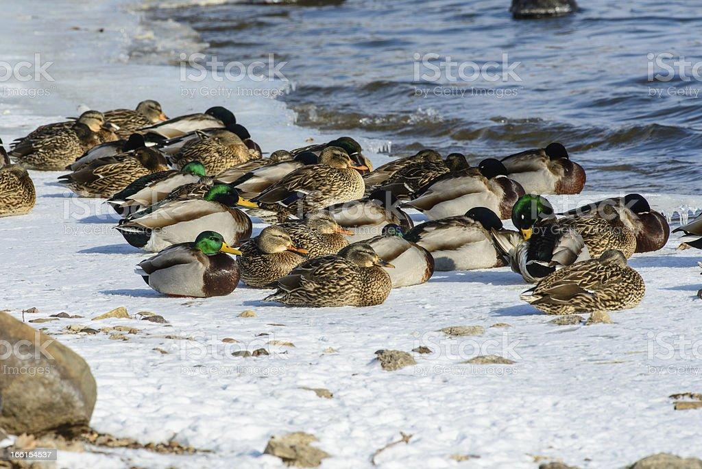 Mallards sleeping on ice and snow royalty-free stock photo