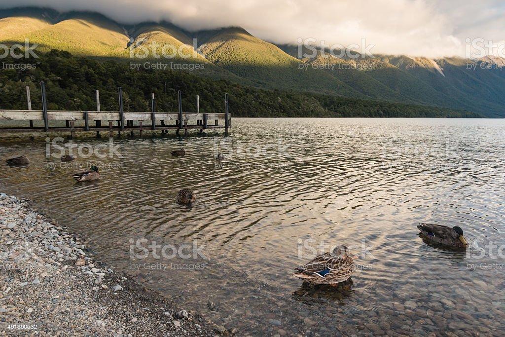 mallards swimming on lake Rotoiti in New Zealand stock photo