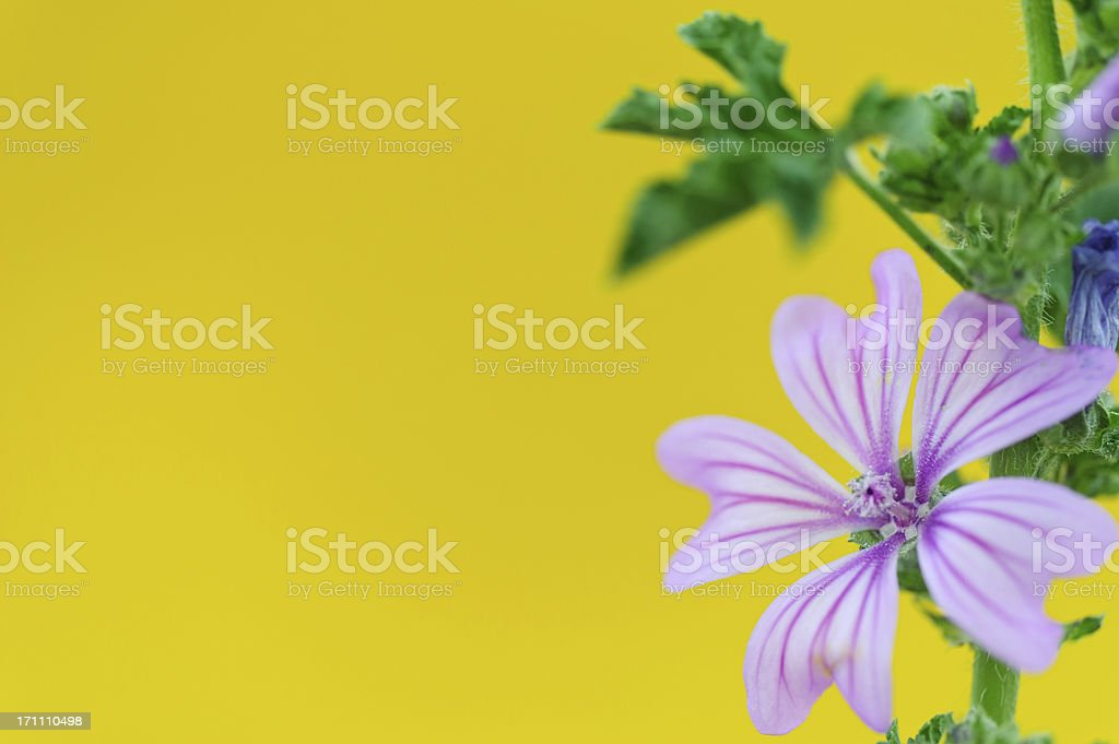 Mallow against yellow stock photo