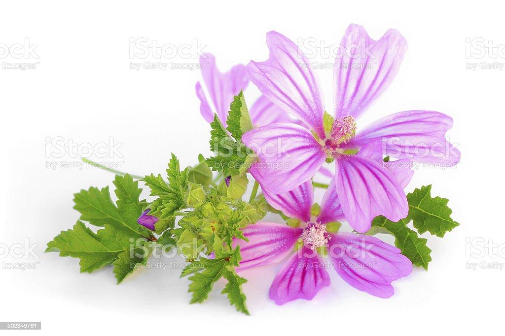 Mallow flower freshness stock photo